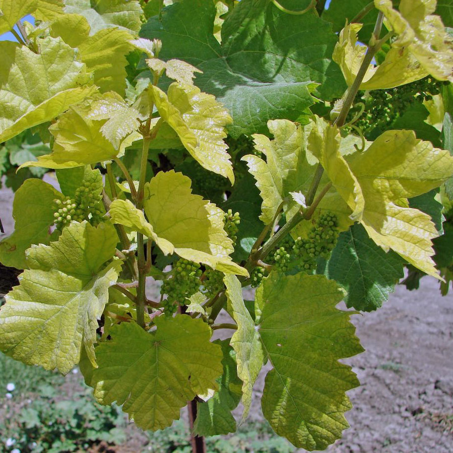 vine with Iron deficiency